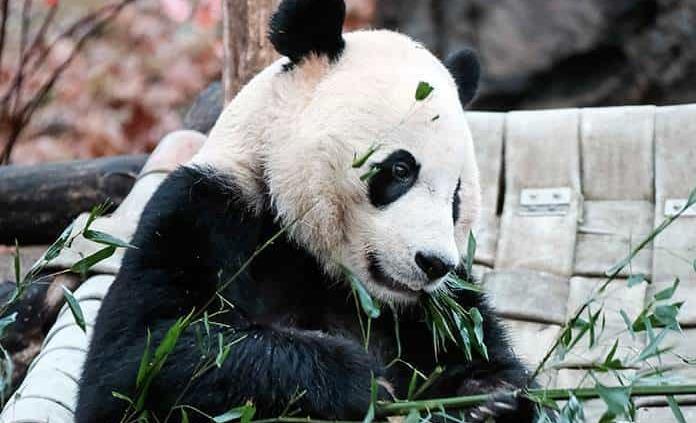 El panda Bei Bei será trasladado de Washington a China