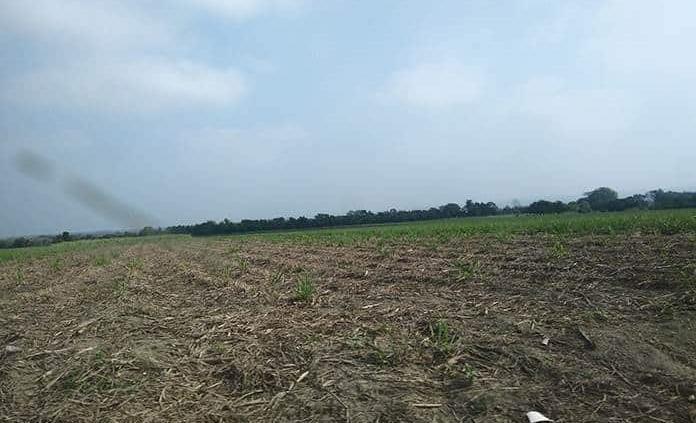 La sequía afecta producción de caña en Tambaca