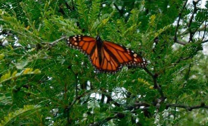 Siembran algodoncillo para las mariposas monarca que emigran