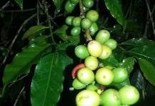 Frío no ha afectado a los cultivos de café