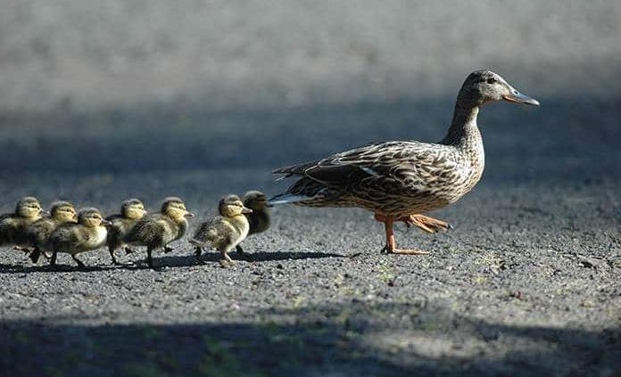 Detectan en Croacia un foco de gripe aviar H5N8
