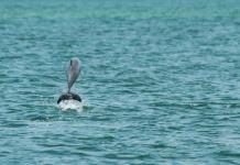 Matanza de delfines reaviva debate en las islas Faeroe