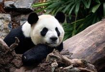 Zoo canadiense devuelve pandas