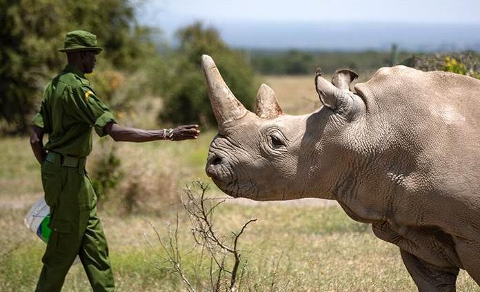 Kenia logra cuatro nuevos embriones de rinoceronte blanco del norte