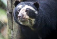 Un santuario de osos resiste a las adversidades en los Andes colombianos
