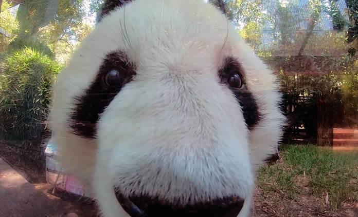 La panda Shuan Shuan festeja 33 años de vida