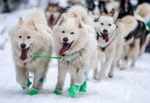 Los perros de trineo surgieron hace 9,500 años en Siberia