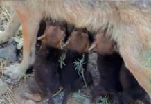 Nacen 8 cachorros del lobo gris mexicano en Coahuila