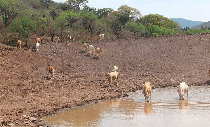 Muere ganado por sequía en El Zapote