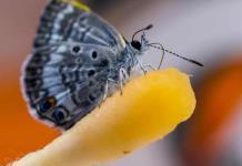Una bebida isótonica es clave para salvar a la mariposa Miami Blue