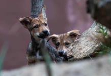 Los ocho cachorros de lobo gris mexicano que nacieron en Saltillo, una esperanza para su especie (FOTOS)