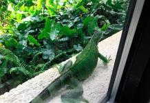 Iguanas verdes y tegus se convierten en animales prohibidos en Florida