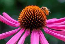 Los abejorros más grandes saben fichar a las mejores flores