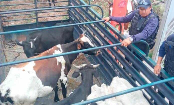 Policías aseguran cinco vacas que deambulaban por calles de Industrial San Luis