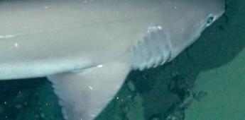 Observan tiburones primitivos en islas Galápagos