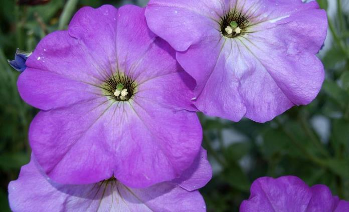 Plantas moradas para decorar tu hogar
