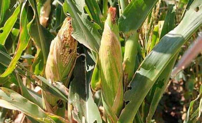 Sequía afecta los cultivos de maíz,cacahuate y frijol