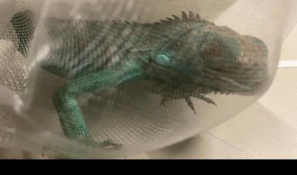 Guardia Nacional decomisa reptiles en aeropuerto potosino