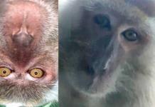 Mono roba celular y se toma selfies