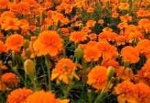 Invitan a comprar flores de cempasúchil cosechadas en las chinampas