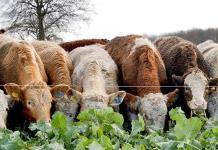 Las vacas, como los humanos, prefieren la comunicación cara a cara