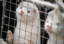 El sacrificio de visones cierra industria peletera y desata tormenta política en Dinamarca