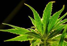 La industria espera la inminente legalización del cannabis en abril