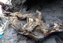 Recuperan rinoceronte lanudo de la Era de Hielo en Rusia