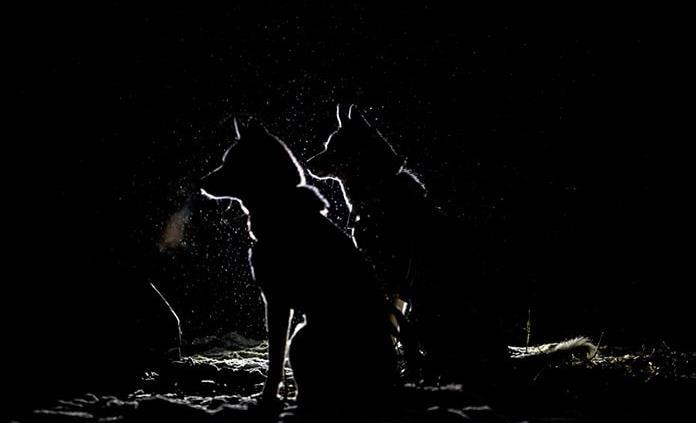 Los humanos que alimentaban a los lobos pudieron ayudar a la domesticación