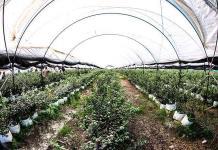 Exporta invernadero arándano a los EU