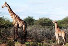 Científicos documentan dos jirafas enanas en Uganda y Namibia