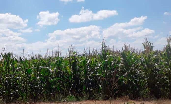 Preparan tierras para siembra de hortalizas