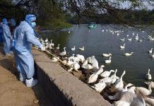 La India confirma brotes de gripe aviar en 10 estados del país