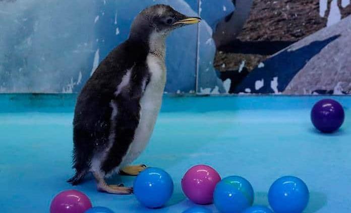 Alex, el primer pingüino antártico nacido en México, invita a cuidar ecosistemas