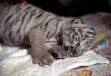 Fallece Nieves, la tigresa blanca nacida hace 15 días en Nicaragua