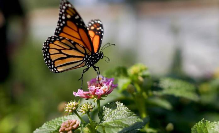 Monarcas cada vez más cerca de la extinción en California