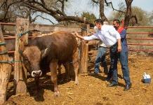 Dan vacuna para proteger ganado