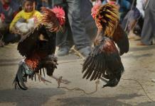 Treinta detenidos por peleas ilegales de gallos en Florida