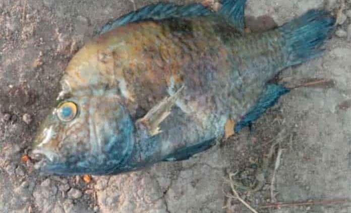 Mueren peces y ganado en varias comunidades