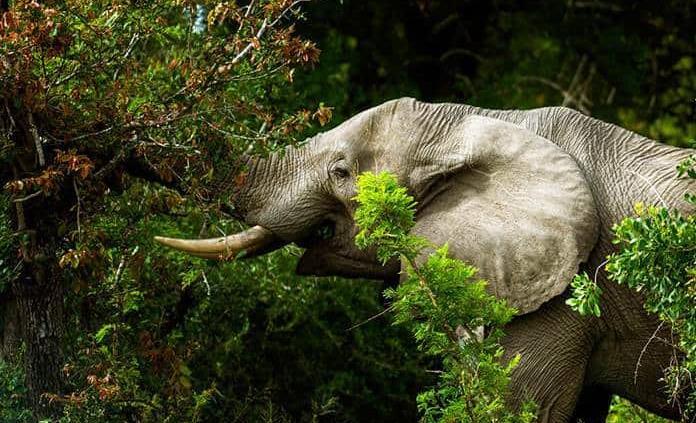 Una elefanta mata a un turista sudafricano en Zimbabue