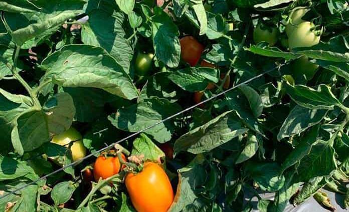 Invernadero envía 75 tons de jitomate a EU y Japón