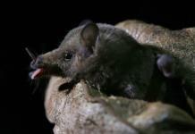 Aparición de murciélagos atrae a científicos en México