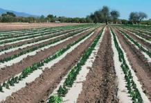 Sequía acaba con cultivos y ganado