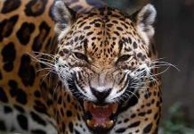 El jaguar busca recuperar su espacio natural en Colombia