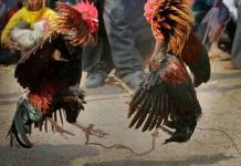 Piden cancelar pelea de gallos