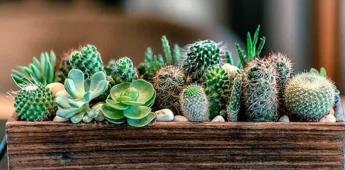 Cactus y plantas suculentas