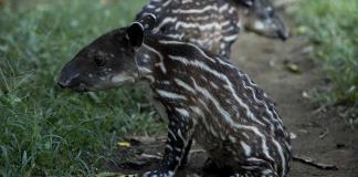 Nacen en Zoológico de Nicaragua una pareja de tapires en peligro de extinción