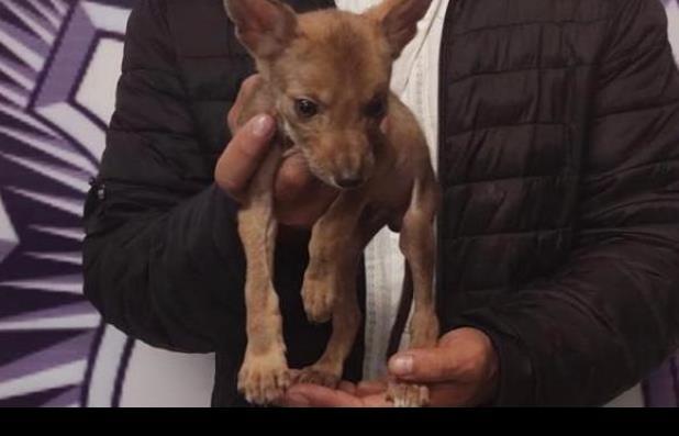 Detienen a sujeto que intentó vender un coyote en Puebla