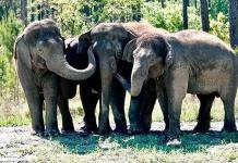 Elefantes jubilados de circos llegan a su nueva reserva natural en Florida
