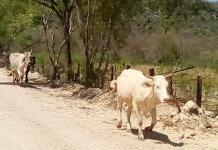 Mueren 500 reses por sequía en ZM